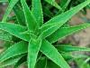 Aloes – zbawienny na dolegliwości zębów i jamy ustnej!
